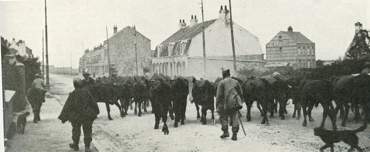Calais 14 18 traversee d un troupeau pour le ravitaillement des armees presentes sur calais